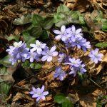 Печёночница благородная (Hepatica nobilis)