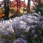 Пеннисетум лисохвостый Moudry (Pennisetum alopecuroides Moudry)