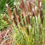 Пеннисетум лисохвостый Red Head (Pennisetum alopecuroides Red Head)