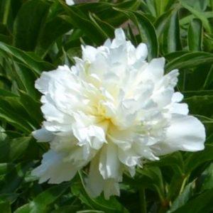 Пион гибридный - белый, розовый, красный (Paeonia × hybrida)