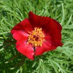 Пион тонколистный (Paeonia tenuifolia) 1