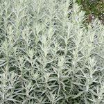 Полынь Людовика Серебряная Королева (Artemisia Ludoviciana Silver Queen)