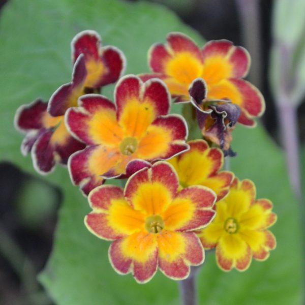 Примула гибридная (Рrimula hybrida)