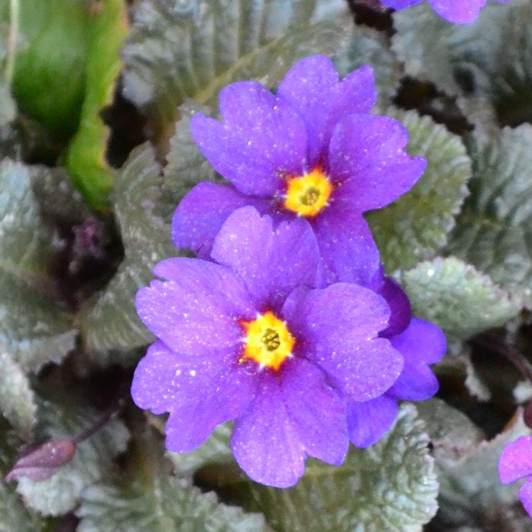 Примула пругоницкая Блу Рехаб (Рrimula pruhoniciana Blue Rihaub)