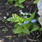 Пупочник весенний (Omphalodes verna)