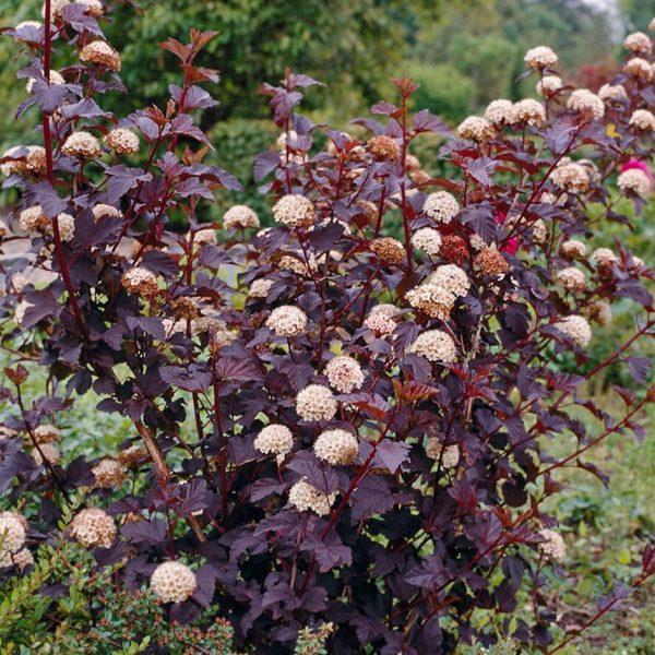 Пузыреплодник калинолистный Diablo (Physocarpus opulifolius Diablo)