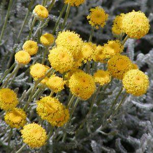 Сантолина кипарисовидная (сизая, зеленая) (Santolina chamaecyparissus)