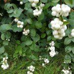 Снежноягодник белый (Symphoricarpos albus) 4