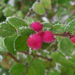 Снежноягодник округлый (Symphoricarpos orbiculatus) 2