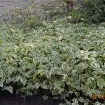 Сныть обыкновенная пёстролистная (Aegopodium podagraria Variegata)