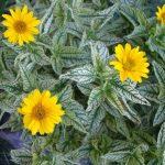 Солнечник (гелиопсис) подсолнечниковидный Loraine Sunshine (Heliopsis hеlianthoidеs Loraine Sunshine)