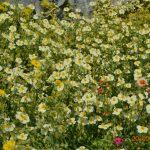 Солнцецвет гибридный Wisley Pink (Helianthemum hybridum Wisley Pink)