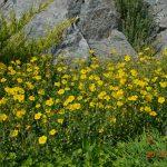 Солнцецвет монетолистный (Helianthemum nummularum)