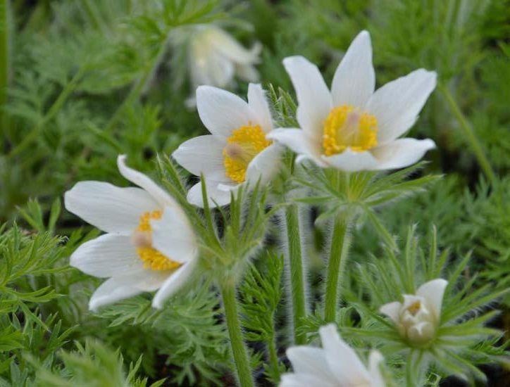 Сон трава раскрытая Белая (Pulsatilla patens Alba)