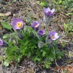 Сон трава раскрытая синяя (Pulsatilla patens)