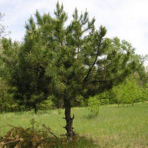 Сосна крымская (Pinus pallasiana)