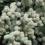 Спирея Вангутта (Spiraea vanhouttei)1