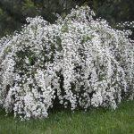 Спирея Вангутта (Spiraea vanhouttei)2
