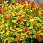 Спирея японская Золотое Пламя (Spiraea japonica Goldflame) 2