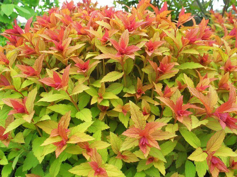 Спирея японская Золотое Пламя (Spiraea japonica Goldflame) 3