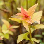 Спирея японская Золотое Пламя (Spiraea japonica Goldflame)