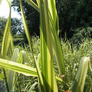 Тростник обыкновенный Variegata (Phragmites australis Variegata)