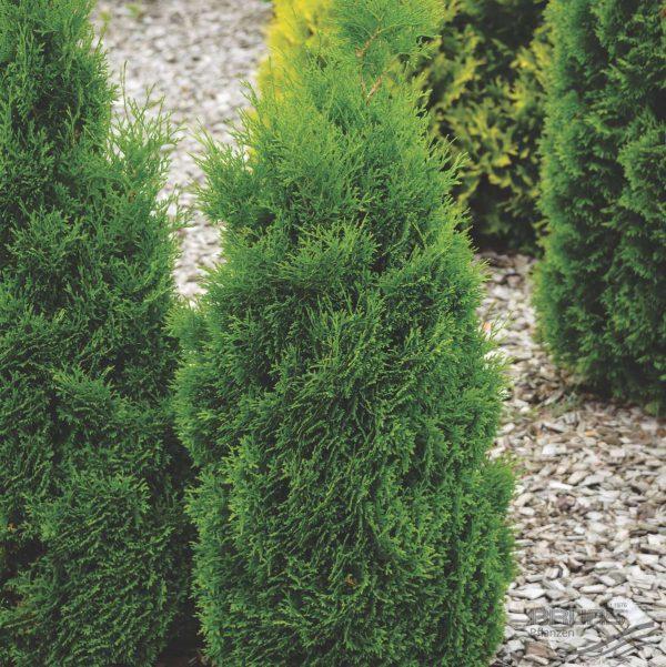 Туя западная Холмструп (Thuja occidentalis Holmstrup)