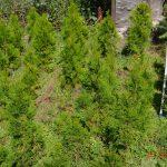 Туя западная Smaragd (Thuja occidentalis Smaragd)