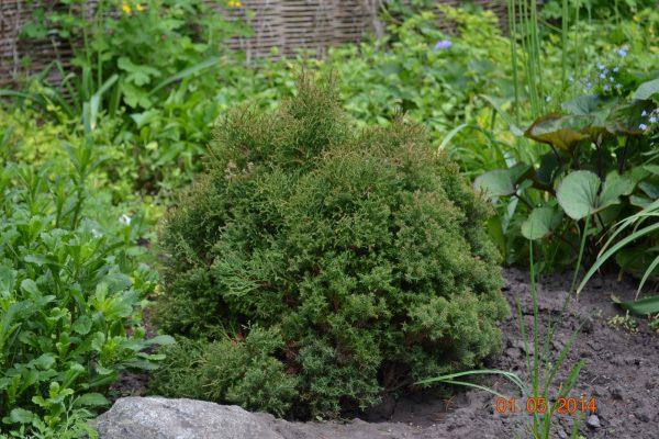 Туя западная вересковидная (Thuja occidentalis Ericoides)