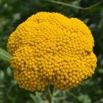 Тысячелистник таволговый (Achillea filipendulina) 1