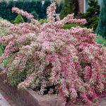 Вейгела цветущая Variegata (Weigela florida variegata)