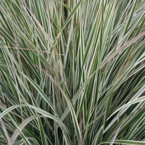 Вейник остроцветковый Овердам (Сalamagrostis acutiflora Overdam)