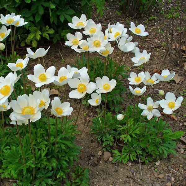 Ветреница (анемона) лесная (Anemone sylvestris)