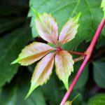 Виноград девичий пятилисточковый (Parthenocissus quinquefolia