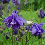 Водосбор обыкновенный (Aquilegia vulgaris)