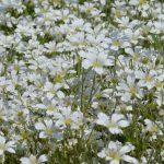 Ясколка Биберштейна (Cerastium biebersteinii)