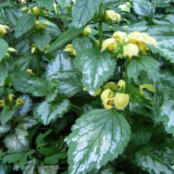 Яснотка зеленчуковая Серебристая (Lamium galeobdolon Florentinum)